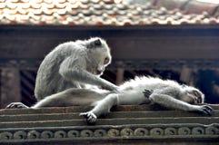 在巴厘岛的Monkey's爱 库存照片