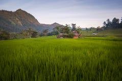 在巴厘岛,印度尼西亚的米领域的黎明 图库摄影