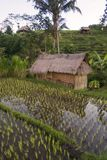 在巴厘岛,印度尼西亚的米领域的黎明 免版税库存图片