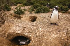 在巴塔哥尼亚半岛de valdes阿根廷,麦哲伦企鹅的企鹅 免版税库存照片