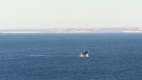 在巴塔哥尼亚的鲸鱼 图库摄影