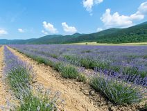 在巴尔干的脚的开花的淡紫色在保加利亚 免版税库存照片
