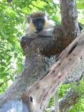 在巴巴多斯野生生物储备的青猴 库存照片