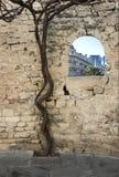 在巴库市堡垒的古老防御塔的墙壁的附近葡萄葡萄栽培  免版税库存照片