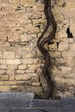 在巴库市堡垒的古老防御塔的墙壁的附近葡萄葡萄栽培  库存照片