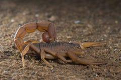在巴德拉普尔附近被看见的蝎子 库存照片