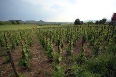 在巴拉顿匈牙利附近的葡萄园领域 免版税库存照片