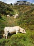 在巴斯克地区的Monutain母牛 免版税库存图片