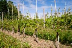 在巴罗洛附近的葡萄栽培在Langhe,山麓,意大利,联合国科教文组织遗产 免版税图库摄影