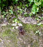 在巴西的森林里找到的大塔兰图拉毒蛛 库存图片
