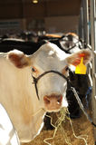 在市场的空白母牛 库存照片