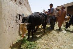 在市的souk的卖主母牛Rissani在摩洛哥 库存照片