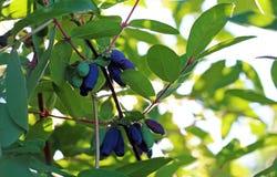 在布什的早期的蓝色忍冬属植物莓果 库存照片