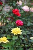 在布什的白色玫瑰色芽 图库摄影