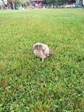 在布加勒斯特黄褐色的猫头鹰欧洲owlbird的一个公园找到的猫头鹰小鸡与大眼睛栖息 免版税库存照片