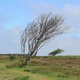 在布拉德鲁普荒地的被风吹扫树在叙尔特岛海岛上  免版税库存图片