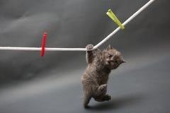 在布料线的英国Shorthair小猫 免版税库存照片