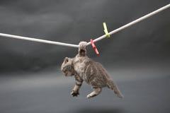 在布料线的英国Shorthair小猫 免版税库存图片