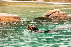 在布朗克斯动物园的海狮 免版税库存照片