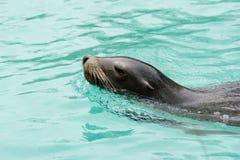 在布朗克斯动物园的海狮 免版税库存图片