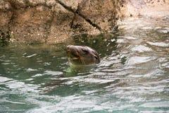 在布朗克斯动物园的海狮 库存照片