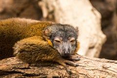 在布朗克斯动物园的狐猴 免版税库存照片