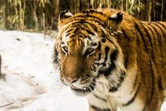 在布朗克斯动物园的老虎 免版税库存图片