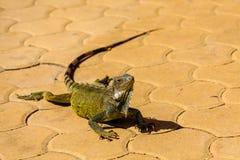 在布朗瓦片的绿色鬣鳞蜥 库存图片