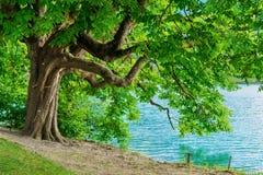 在布莱德湖岸的欧洲七叶树树  免版税库存照片