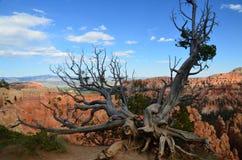 在布莱斯峡谷国家公园犹他的死的树 库存照片