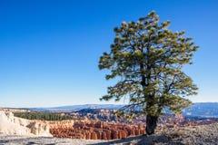 在布赖斯峡谷外缘的杉树  免版税库存图片