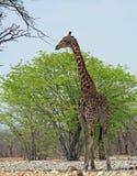 在布什-充分的框架的一头孤立公长颈鹿 库存图片