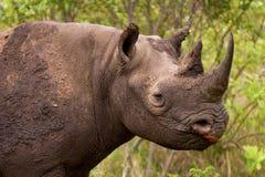 在布什的犀牛在南非 免版税库存照片
