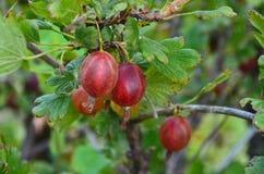 在布什的莓果鹅莓 库存照片