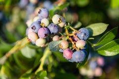 在布什的蓝莓 免版税库存照片