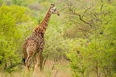 在布什的长颈鹿在南非 库存照片