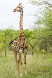 在布什的长颈鹿在南非 图库摄影