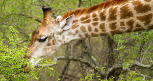 在布什的长颈鹿在南非 免版税库存照片
