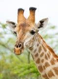 在布什的长颈鹿在南非 免版税库存图片