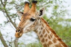 在布什的长颈鹿在南非 免版税图库摄影