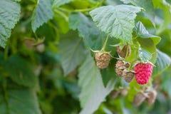 在布什的绿色和成熟莓 库存图片