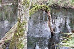 在希尔斯伯勒角河的一棵形成弧光的树 免版税库存图片