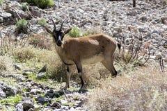 在希腊山的一只山羊属aegagrus cretica野生动物,好奇面孔 图库摄影