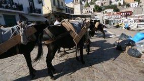 在希腊海岛的驴,九头蛇 他们是在海岛上的唯一的交通工具 股票视频