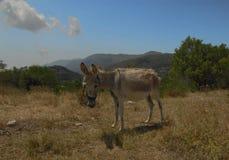 在希腊的山的驴 免版税库存照片