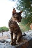 在希腊taverna的猫 免版税库存图片