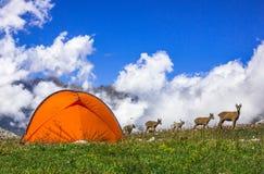 在帐篷旁边的石山羊 免版税图库摄影