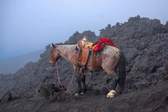 在帕卡亚火山火山的马 库存照片