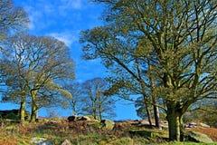 在帕德里峡谷附近成熟树丰足在秋天阳光下,在Longshaw庄园内,Grindleford,东密德兰 免版税库存照片