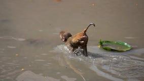 在帕斯帕提那寺,加德满都,尼泊尔的猴子 股票录像